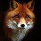 Аватар пользователя red.fox