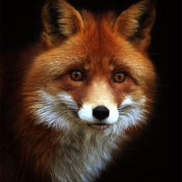 red.fox