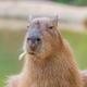 Аватар пользователя CapybaraChan