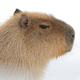Аватар пользователя thecapybara69
