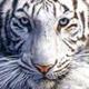 Аватар пользователя whiteTigr