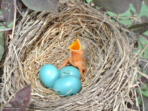 Цвет яйца дрозда фото