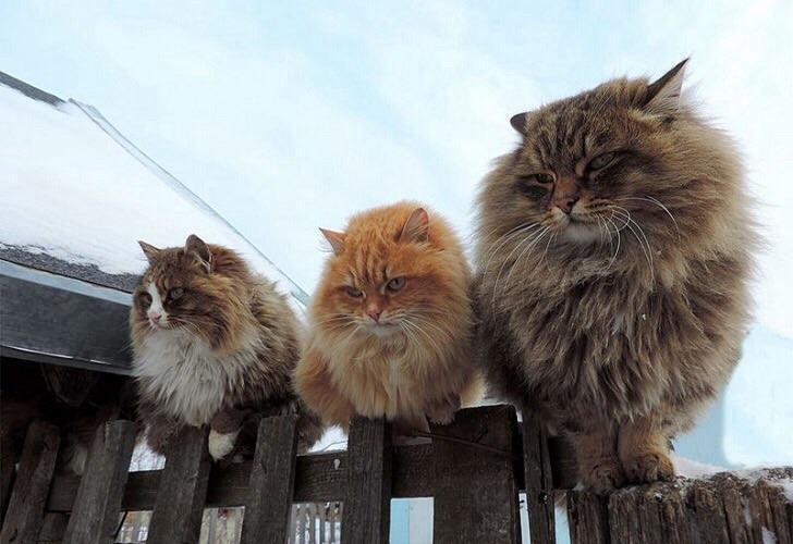 Сибирский кот на весах