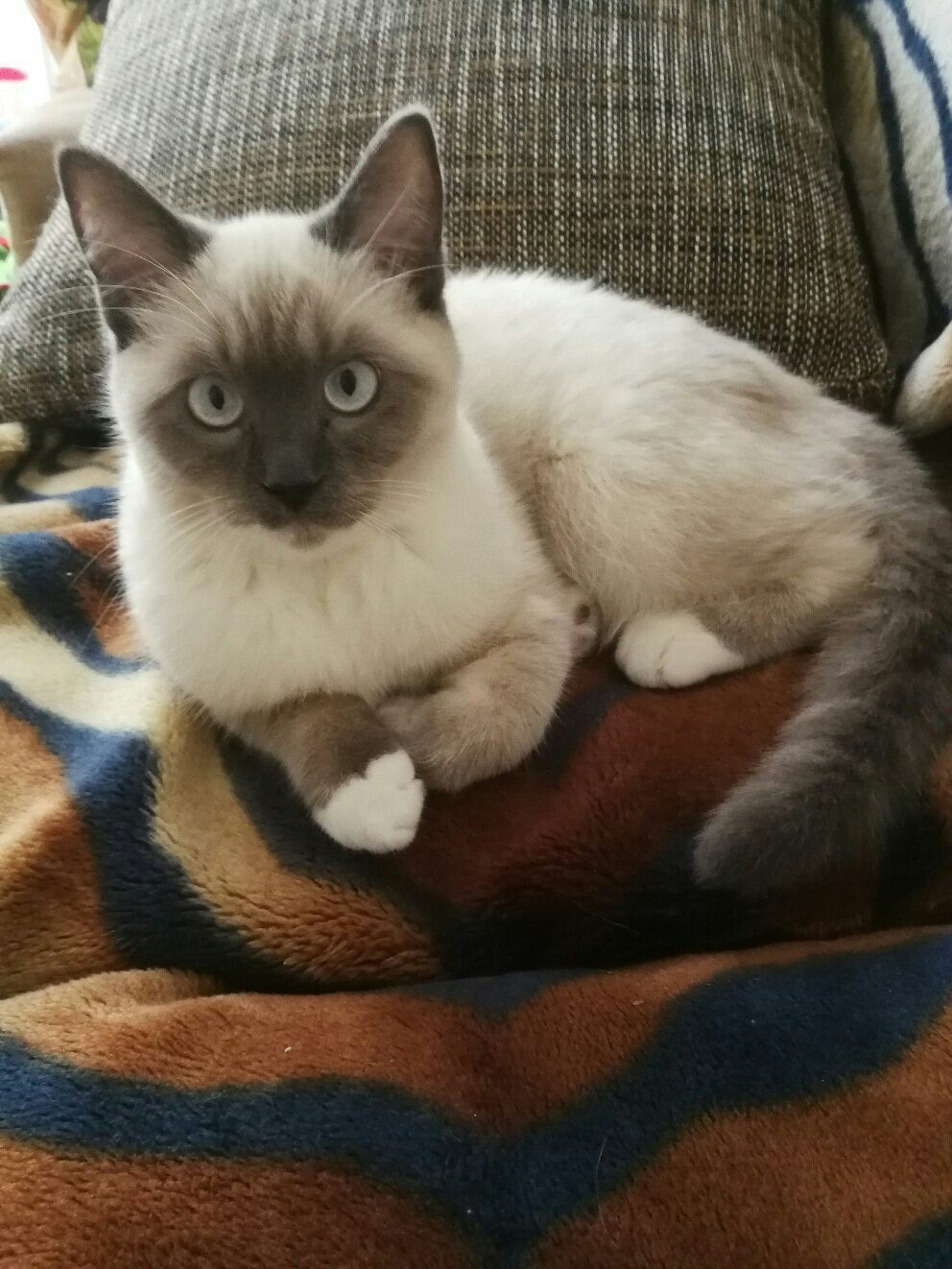сиамский белый кот