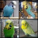 """Аватар сообщества """"Волнистые попугаи и """"Чехи"""""""""""