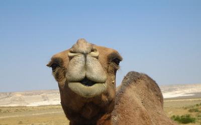 Половой член у верблюда