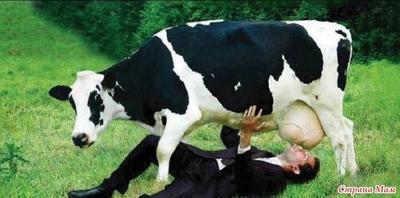 Видео ебет корову