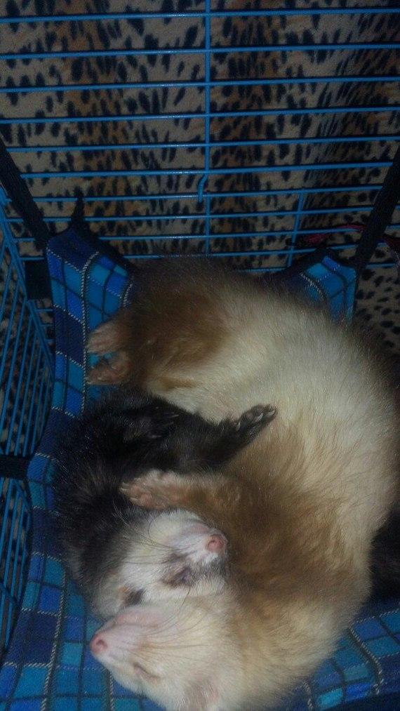 Спят усталые зверюшки. Домашние животные, Милота, Хорек, Длиннопост