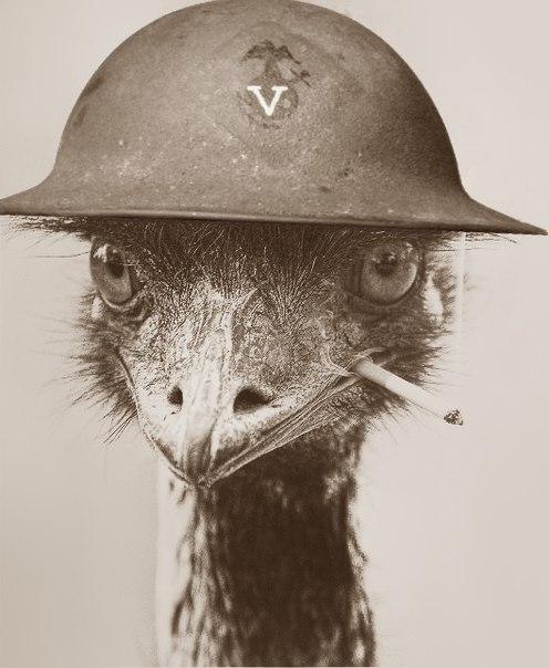 Великая война австралийцев со страусами эму изоражения