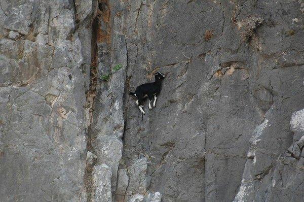 Козлы-скалолазы. Животные, Скалы, Горы, Горные козлы, Длиннопост