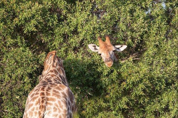 Раз жираф, два жирафа..?