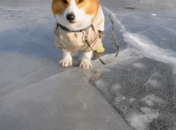 Корги на льду Корги, Собака, Зима, Лед, Баянометр молчит, Гифка