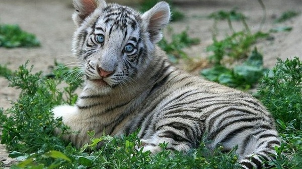 baby white tiger - HD1600×900