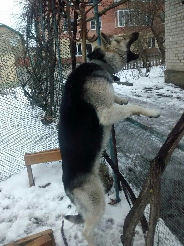 Мой пёс мог бы играть на клавишах собака, рояль, фотожаба, овчарка