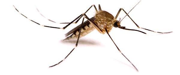 Непобедимый Аниме, Onepunchman, Комары