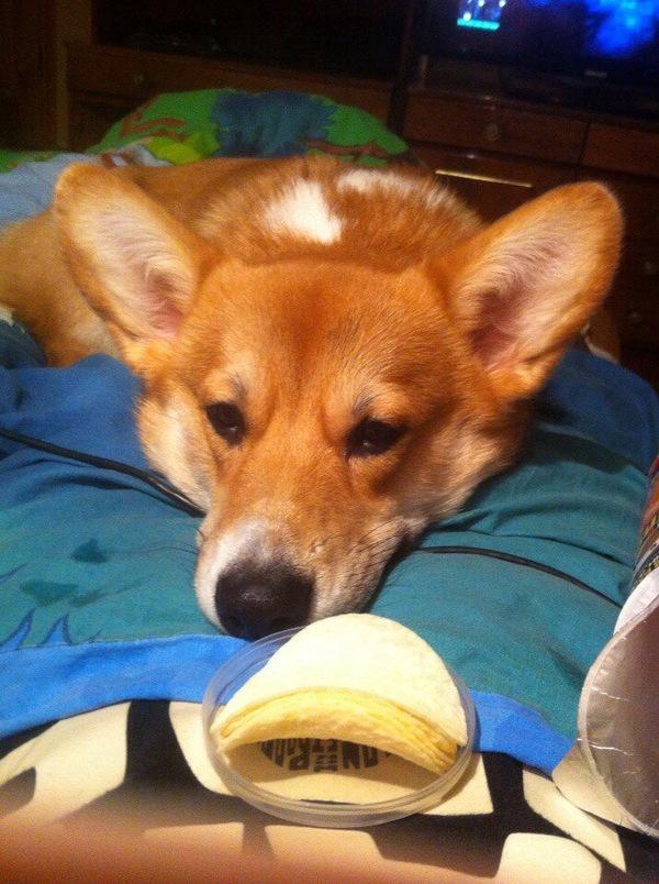 Чипсики? фото, собака, корги, жалость, длиннопост