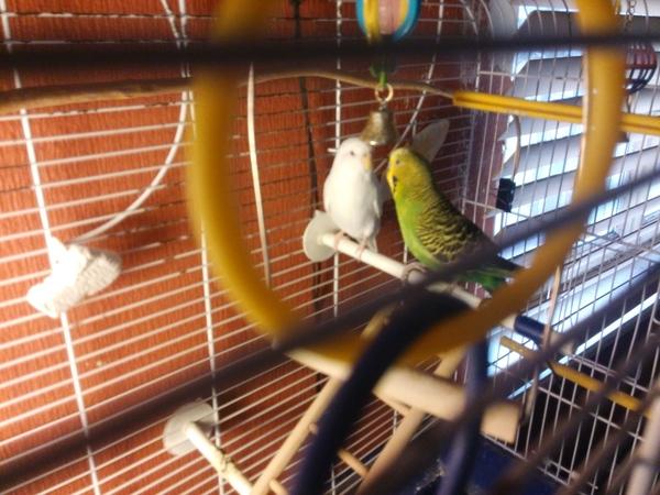 Свободу попугаям Рига, Латвия, попугай, Помощь, кошка нашла дом, длиннопост
