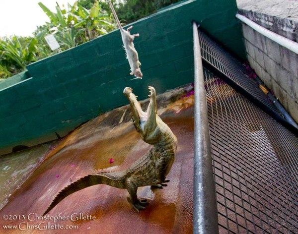 Современный динозавр)) крокодил, Рептилия, животные, баянометр, пикабу, двойные стандарты, непонятки
