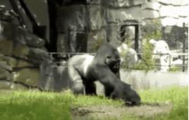 Месть гориллы