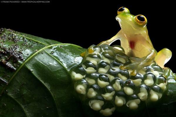 Мечтательная лягушка с нетерпением ждет выхода деток)) лягушка, амфибия, животные, Эквадор, потомство, икра