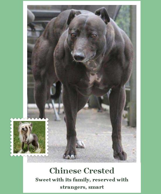 Китайская хохлатая на стероидах, по мнению сервиса майкрософт Microsoft, Сервис, Собака, Прикол