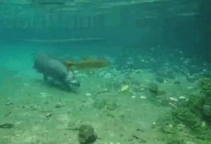 Ныряешь с маской, а мимо тебя лошадь проносится Тапир, Животные, Подводная съемка, Гифка