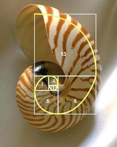 Спираль Фибоначчи... (были фото со спиралью, но пояснений никаких)... спираль, фибоначчи, идеал, золотое сечение, красота, гармония, длиннопост