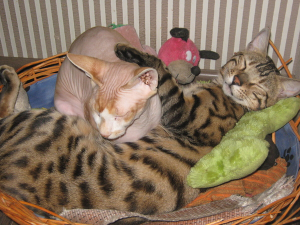 Довольный кошак Кот, Счастье, Фото, Бенгальский кот, Сфинкс