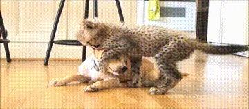 Дружба щенка с гепардом.