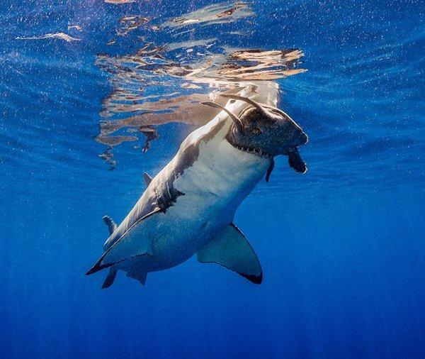 Белая акула наказала черепашку за наглость акула, черепаха, подводная съемка, рыба, наглость, животные