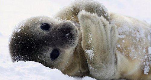 Тюленья малышня Тюлень, Малыши, Милота, Няша, Животные, Ластоногие, Усишки