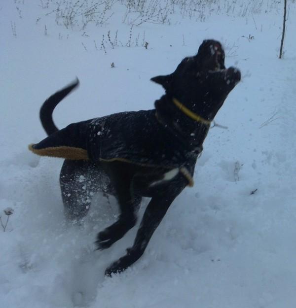 Кане-корсо в снегу Собака, Щенки, Кане-Корсо, Снег, Моё, Кишинев