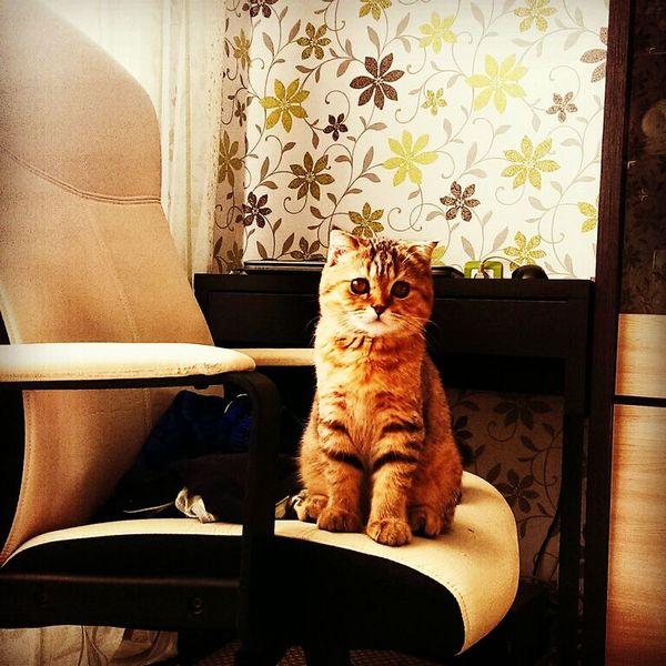 Моя котейка Скай День кошки, шотландская -вислоухая, Скай, кошка шотландская, кот, длиннопост