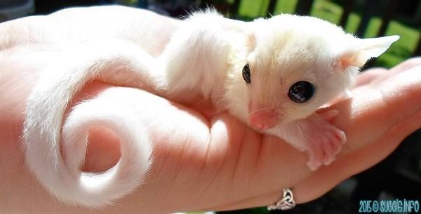 Малыш белого сахарного поссума Поссум, Белка-Летяга, Животные, Белый