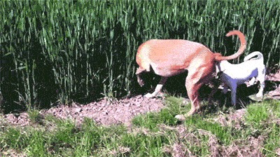 Давай наперегонки Собака, Трава, Поле, Прыжок, Гифка