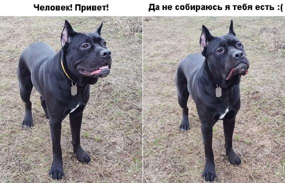 Собака-улыбака, Corso edition Собака, Щенки, Кане-Корсо, Кот, ВКонтакте, Молдова, Моё, Длиннопост