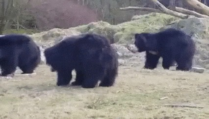 Медведи играют с воздушным шариком