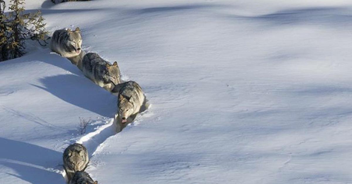 Прикольная картинка волки по снегу