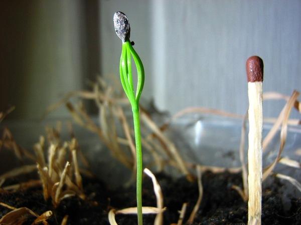 Сосна. Продолжение Сосна, Росток, Фото, Растения, Длиннопост