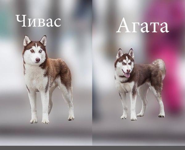 В городе Димитровграде пропала собака. Собака, Димитровград, пропажа, Помощь