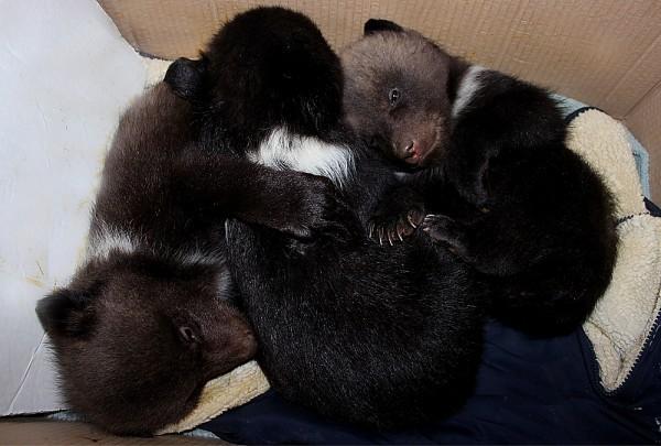 В Харьковском зоопарке показали новорожденных медвежат Зоопарк, Пополнение, Медведь, Харьков, Длиннопост, Животные