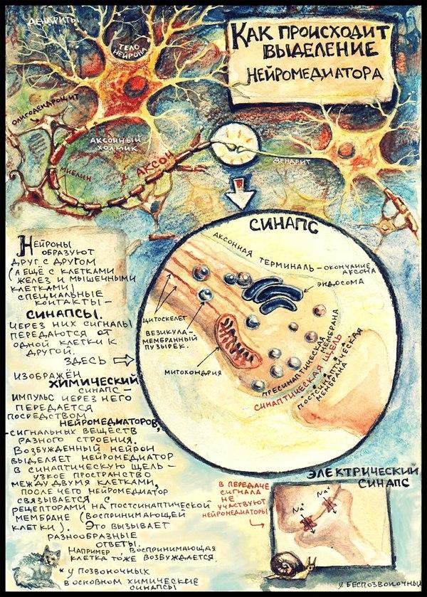 Передача импульса от нейрона нейрону! Медицина, Рисунок, Просто о сложном, Нейроны, Длиннопост, Познавательно