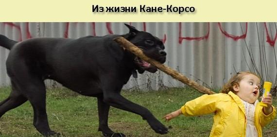 Как приручить собаку, которая хочет тебя сожрать Щенки, Собака, Кане-Корсо, Акита ину, Молдова, Длиннопост, Моё