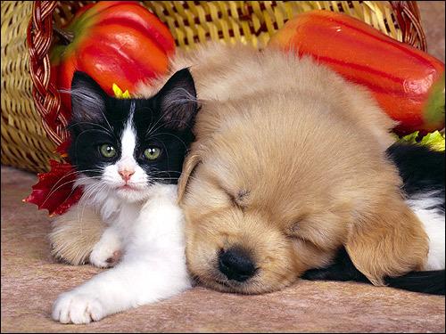 Рассказ о коте и собаке