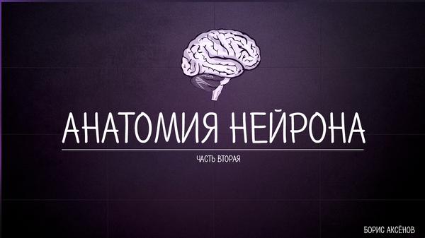 Анатомия нейрона: часть вторая нервная система, анатомия, нейроны, науч-поп, длиннопост