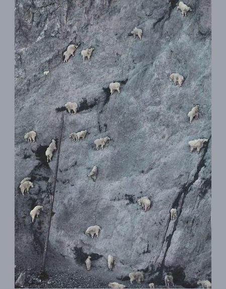 горный козел фото на горе