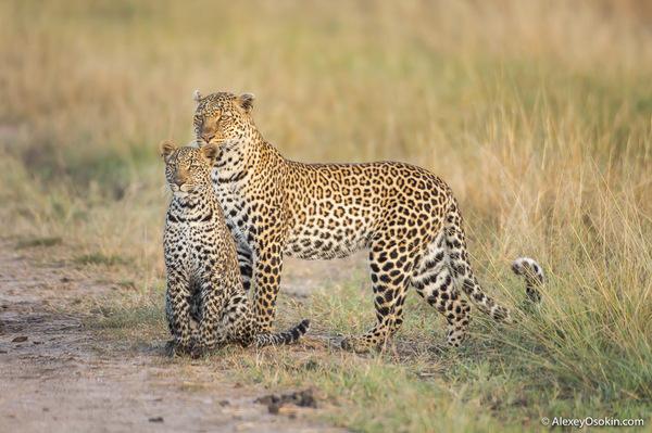 Что делать? Не могу расстаться с ней... леопард, Масаи-Мара, Алексей Осокин, не мое, длиннопост