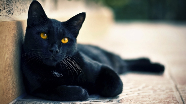 black cat facts for kids