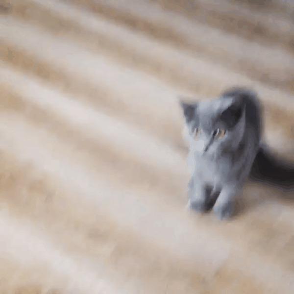 Приветливый кот Кот, Привет, Шпатель, Пушистый, Серый, Котеночек, Гифка, Длиннопост