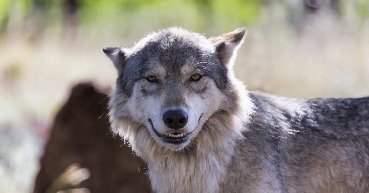 картинки волка который укусила маруси спиной